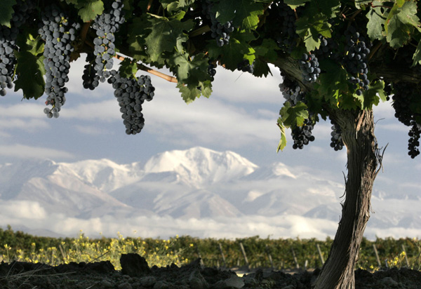 a view of the snow capped andes from the malbec grapevines